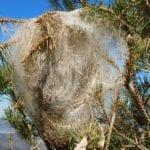 Κάμπια των πεύκων-βιολογική αντιμετώπιση