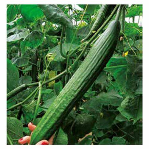 σπόροι αγγουριού